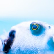 Fish eye closeup