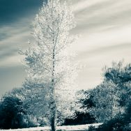 Single tall tree in infrared