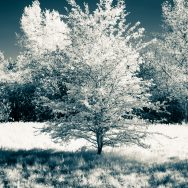 Mid-size tree with shadow and in infrared