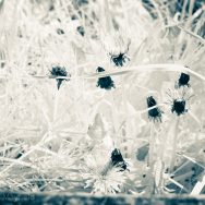 Dandelions in infrared