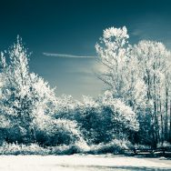 Line of trees in infrared